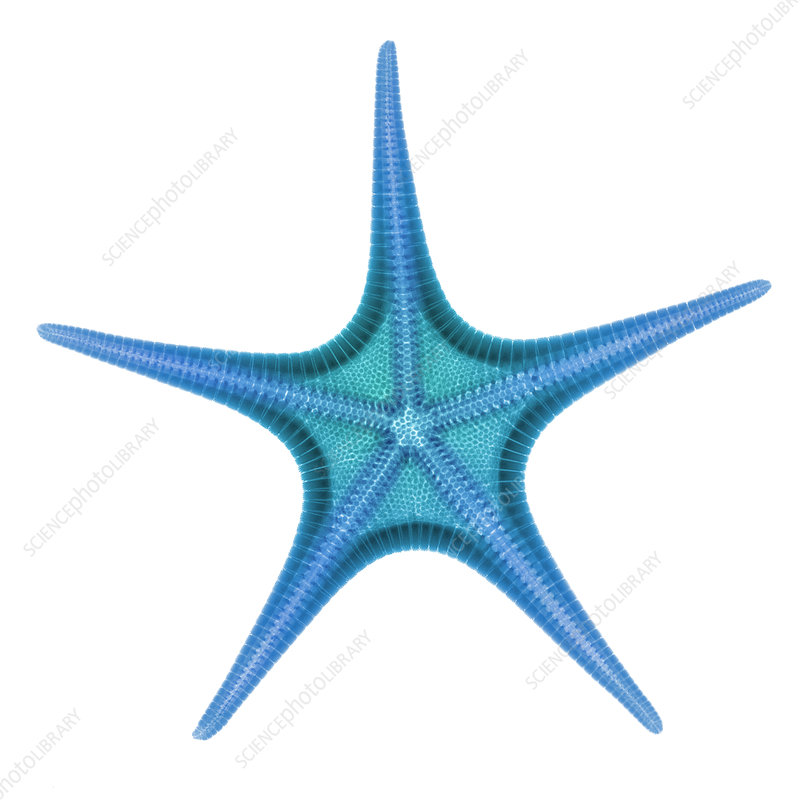 X-ray of Starfish