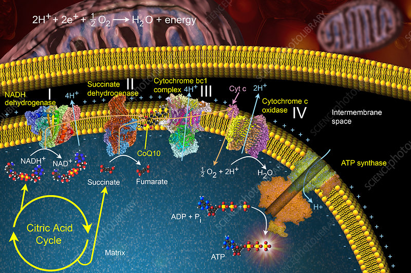 Electron Transport Chain, illustration