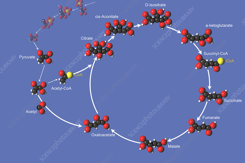 Citric Acid Cycle, illustration