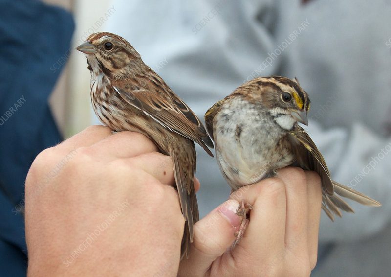 Two Different Sparrows
