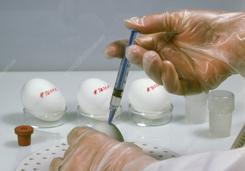 Culturing Vaccines with Chicken Eggs