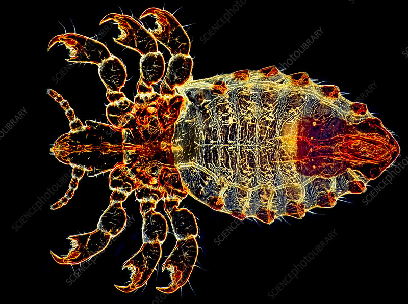 Ox Louse, Dark Ground Illumination