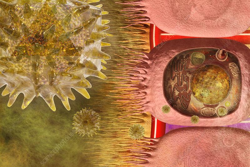 Rhinovirus and common cold, illustration