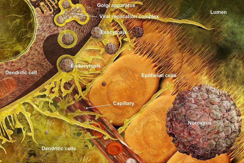 Norovirus Invading Dendritic Cell