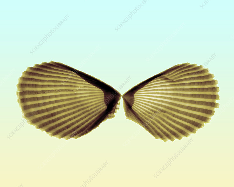 X-ray of Angel Wing Shells