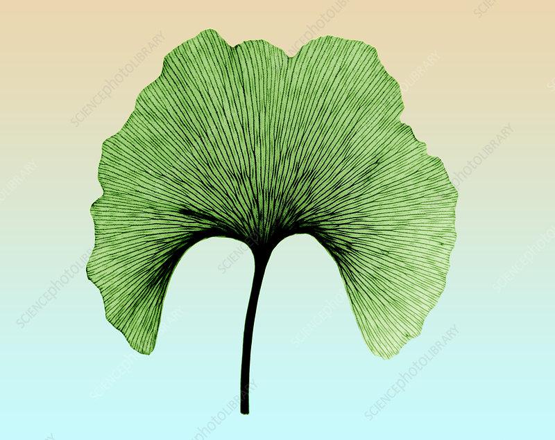 X-ray of Ginkgo leaf