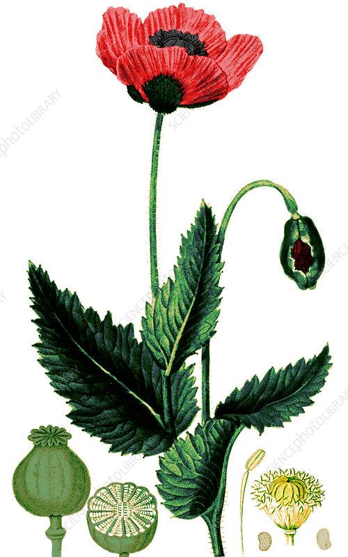 Poppy, 1815, illustration