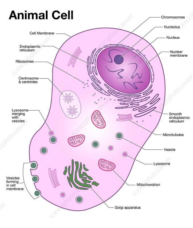 Animal Cell Diagram Illustration Stock Image C0279491 Science