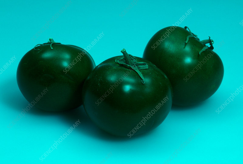 Tomatoes in Cyan Light