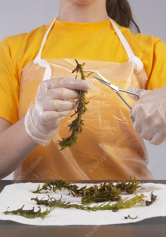 Student Experiments with Elodea Plant