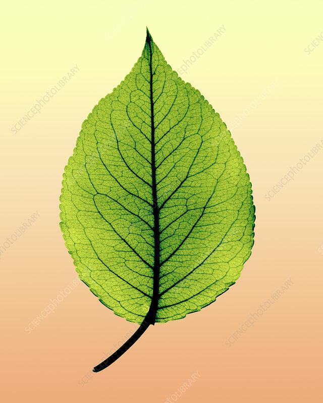 X-ray of pear leaf