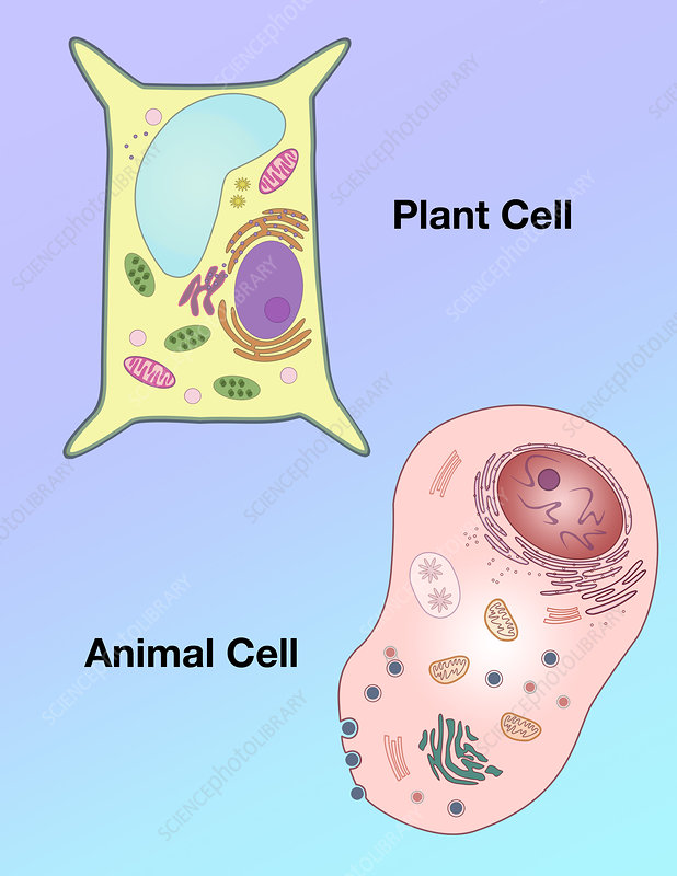 Plant Cell and Animal Cell, illustration