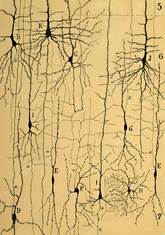 Microscopic Brian Structure, Cajal, 1904