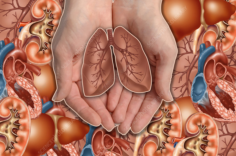Hands Holding Lungs, illustration