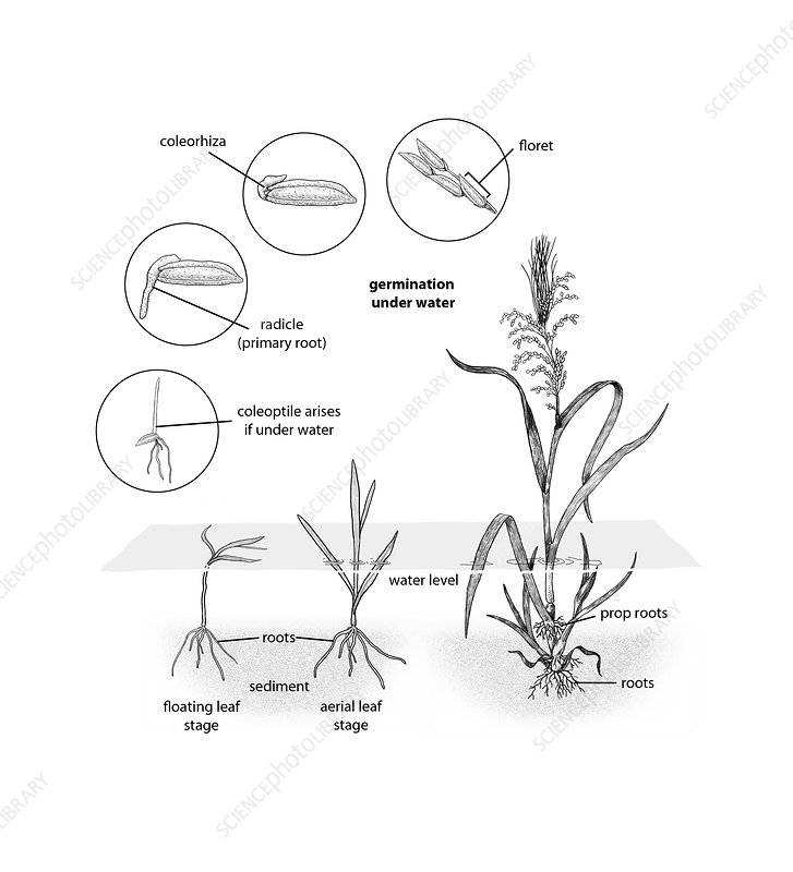 Wild rice Life Cycle, illustration