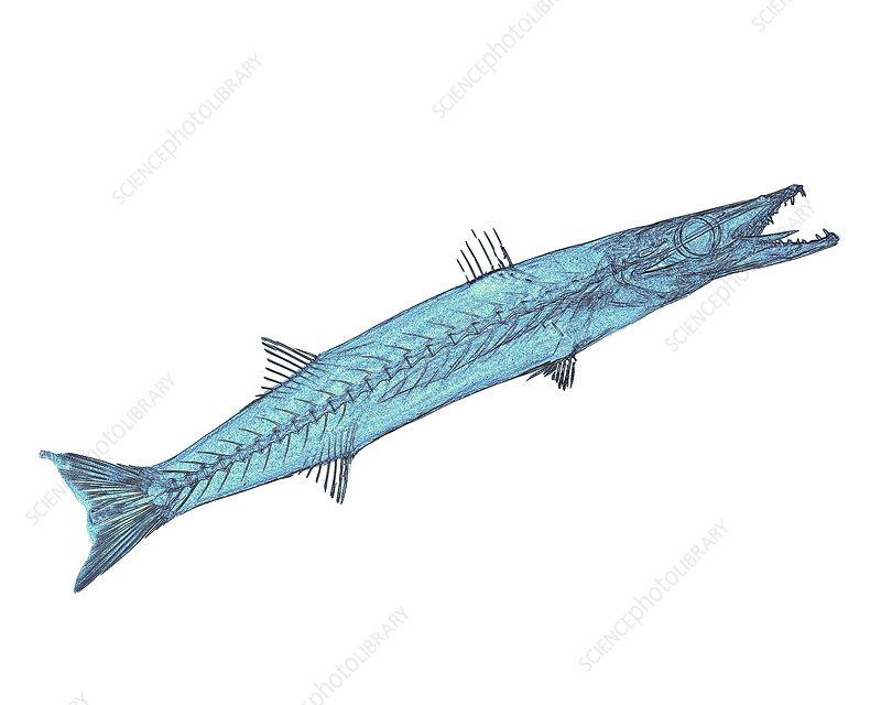 Barracuda X-ray