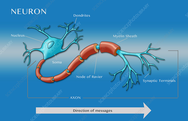 Motor Neuron Illustration Stock Image C028 1139