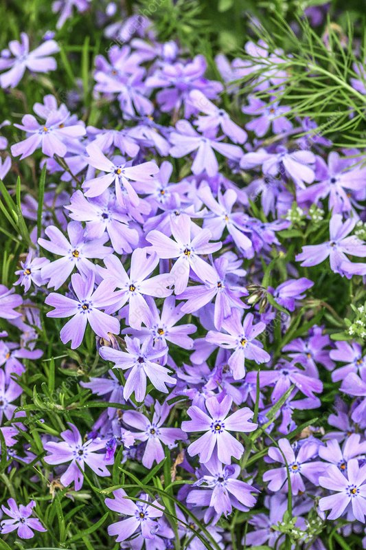 Phlox subulata 'Blue Eyes' flowers