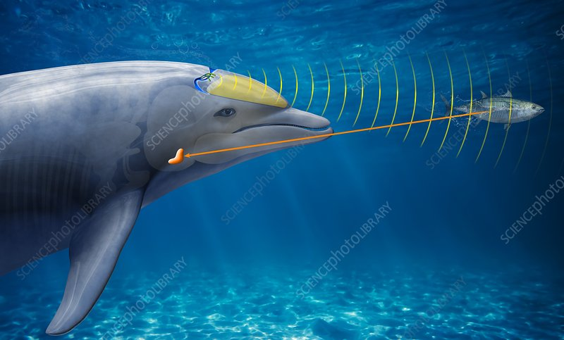 Dolphin echolocation, illustration