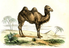 Bactrian camel, 19th Century illustration