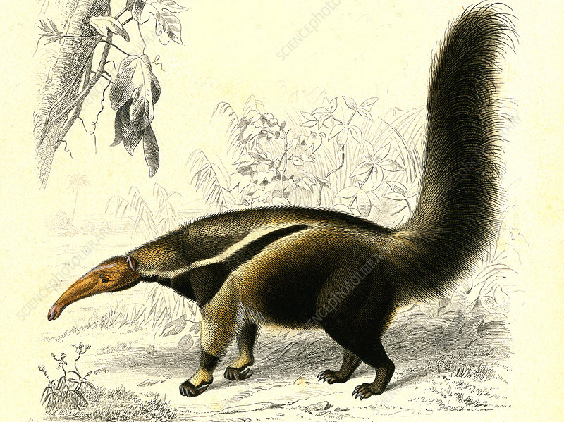Giant anteater, 19th Century illustration