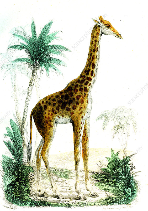 Giraffe, 19th Century illustration