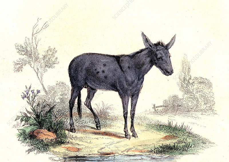 Donkey, 19th Century illustration