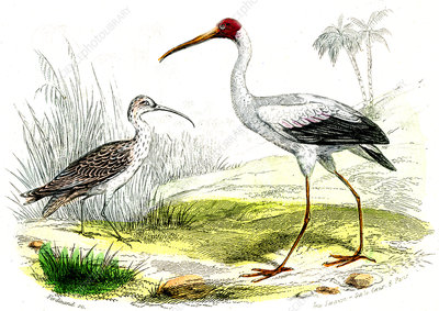 Painted storks, 19th Century illustration