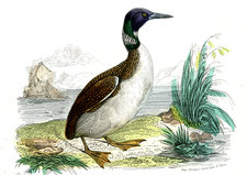 Great northern loon, illustration