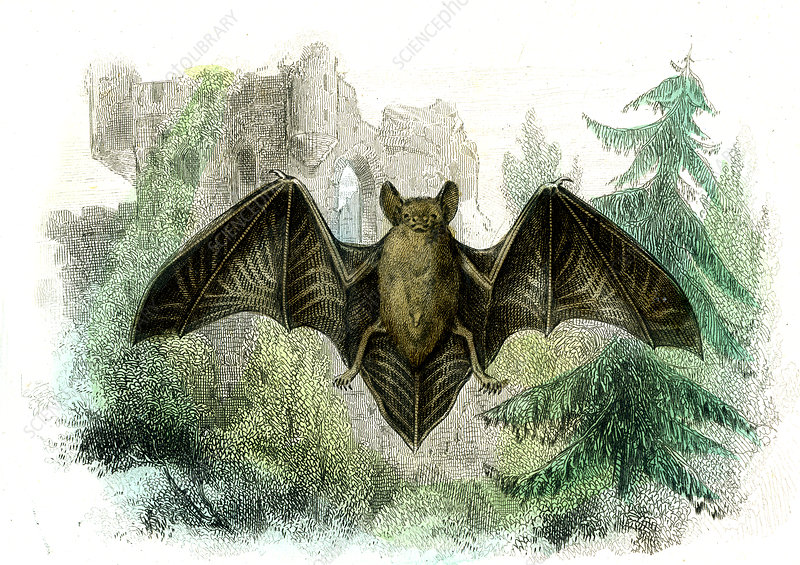 Bat, 19th Century illustration