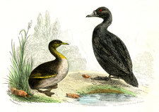 Waterbirds, 19th Century illustration