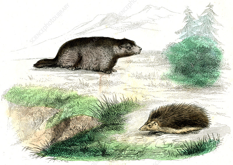 Marmot and hedgehog, illustration