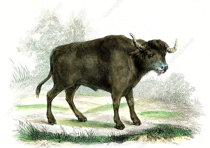Water buffalo, 19th Century illustration