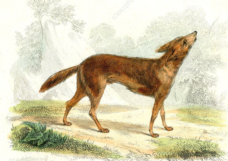 Golden jackal, 19th Century illustration