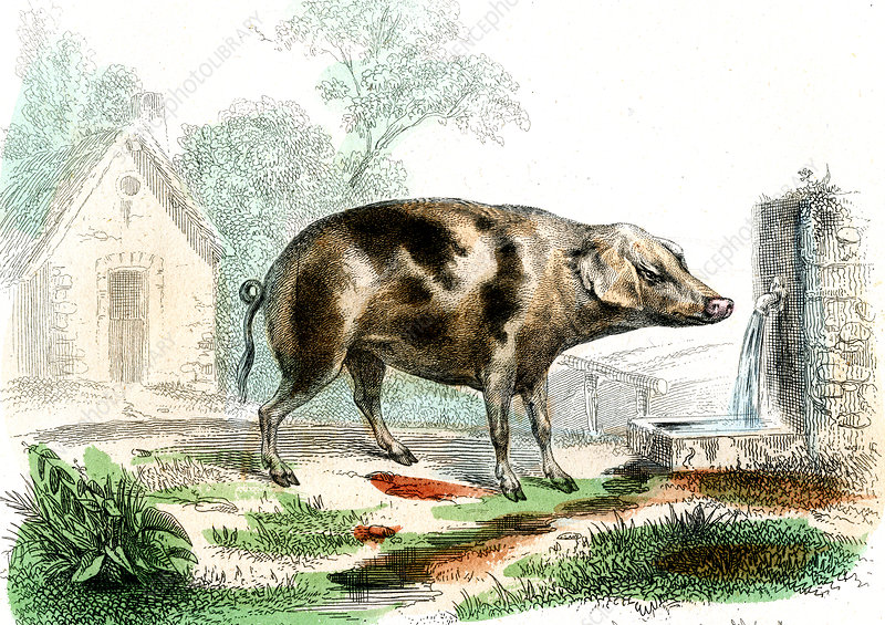 Domestic pig, 19th Century illustration