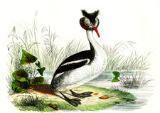 Great crested grebe, illustration