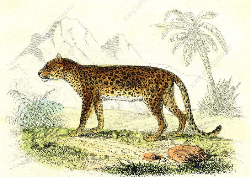 Leopard, 19th Century illustration