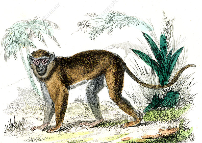 Diana monkey, 19th Century illustration