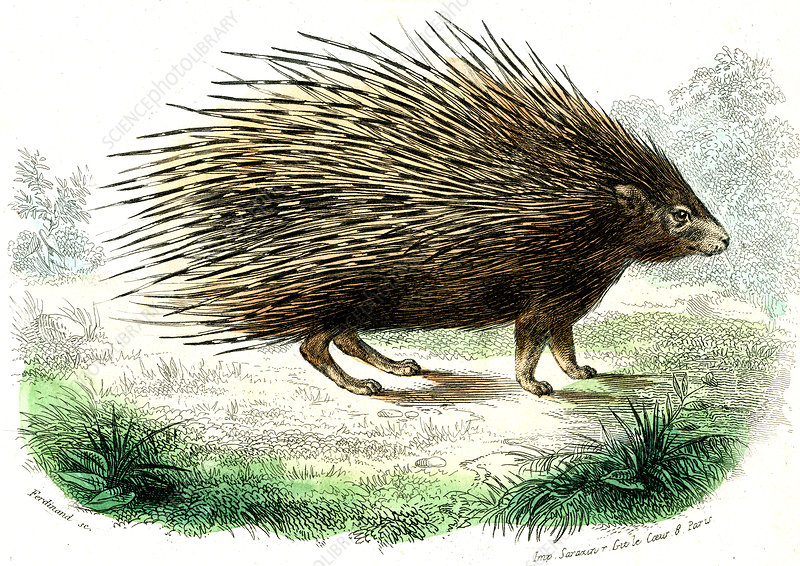 Crested porcupine, illustration