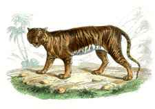 Tiger, 19th Century illustration