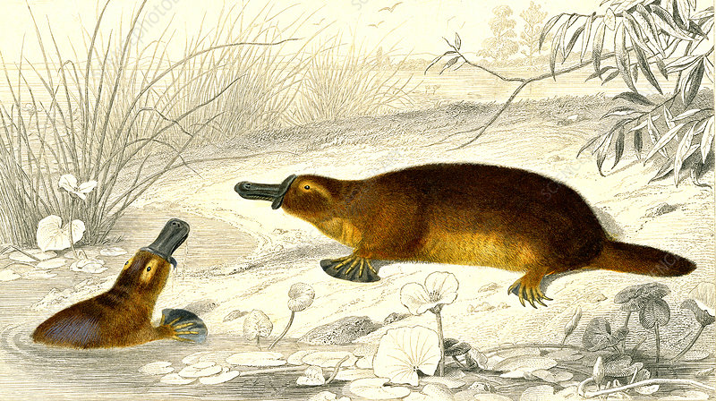 Platypus, 19th Century illustration