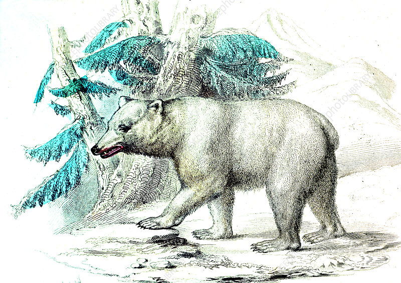 Polar bear, 19th Century illustration