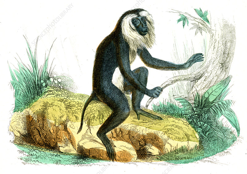 Lion-tailed macaque, illustration