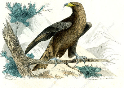 Golden eagle, illustration