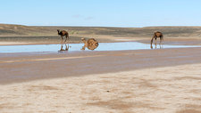 Camels and drying Saharan lake, Morocco
