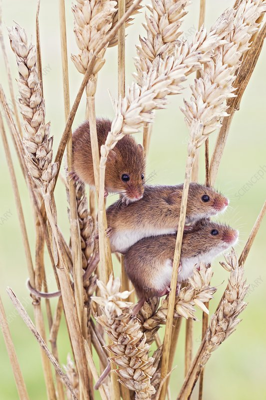 Harvest mice on wheat