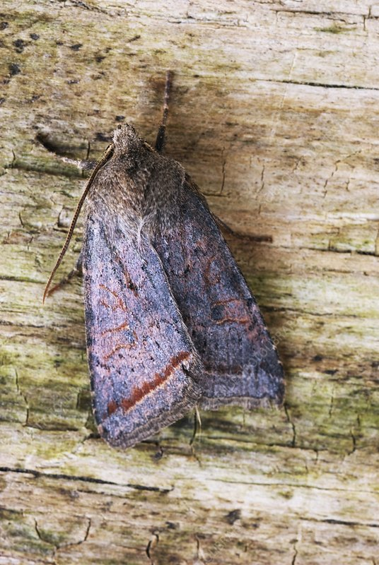 Red line quaker moth