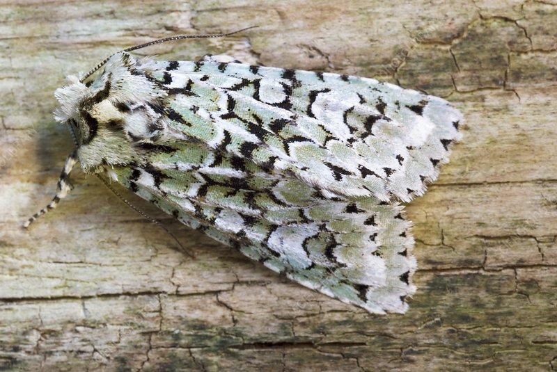 merveille du jour moth stock image c028 1521 science photo library. Black Bedroom Furniture Sets. Home Design Ideas