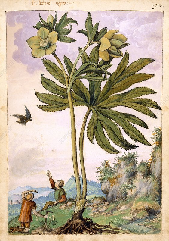 Helleborus viridis flowers, illustration