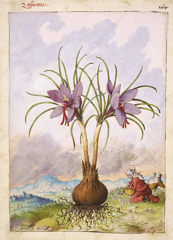 Crocus sativus flowers, illustration